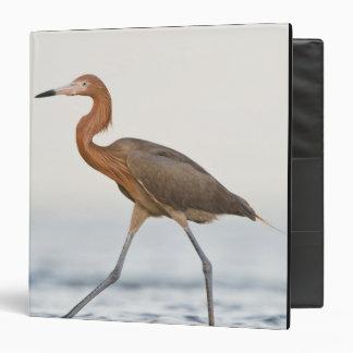 "Caza adulta del Egret rojizo en la bahía, Tejas Carpeta 1 1/2"""