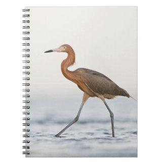 Caza adulta del Egret rojizo en la bahía Tejas Libreta Espiral