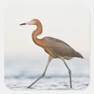 Caza adulta del Egret rojizo en la bahía, Tejas Pegatina Cuadrada