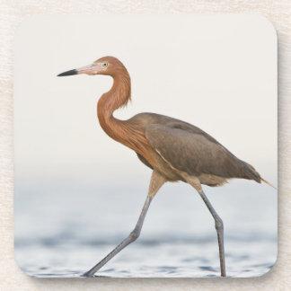 Caza adulta del Egret rojizo en la bahía, Tejas Posavasos De Bebida