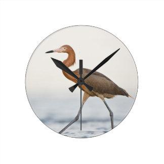 Caza adulta del Egret rojizo en la bahía, Tejas Reloj Redondo Mediano