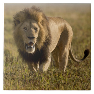 Caza masculina del león azulejo cuadrado grande