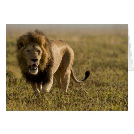 Caza masculina del león tarjeta de felicitación