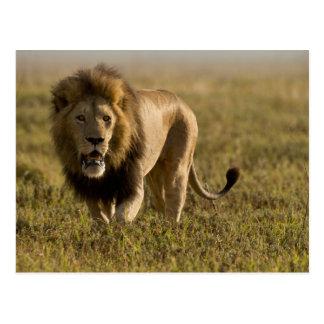 Caza masculina del león tarjeta postal
