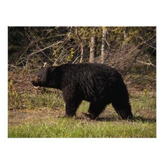 CBB Chubby Black Bear Photo Print