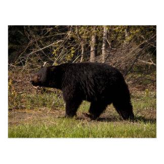 CBB Chubby Black Bear Postcard