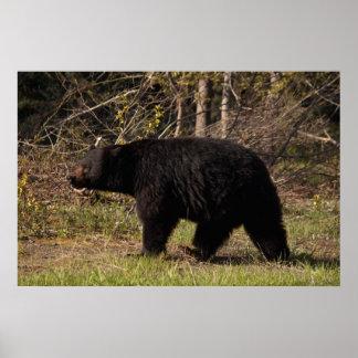 CBB Chubby Black Bear Print