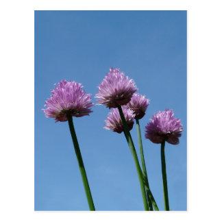 Cebolletas de la cebolla púrpura de la hierba del postales