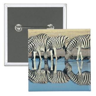 Cebra de Burchells (burchelli del Equus) que bebe  Pins
