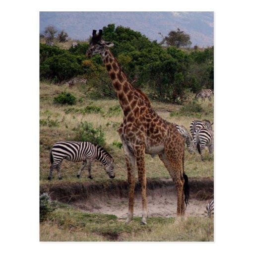 cebra de la jirafa tarjeta postal