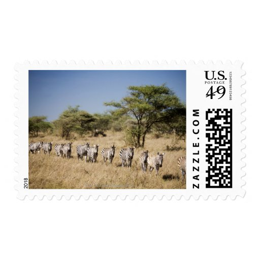 Cebra de la migración, Tanzania Envio