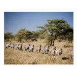 Cebra de la migración, Tanzania Postal