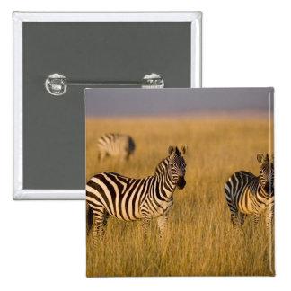 Cebra de los llanos (quagga del Equus) en la hierb Pins
