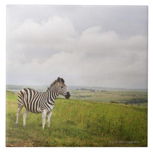 Cebra en el campo, Suráfrica Azulejo