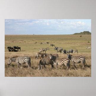 Cebra en Serengeti en Tanzania Posters