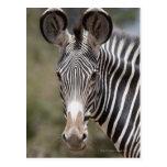 Cebra, Kenia, África Tarjeta Postal