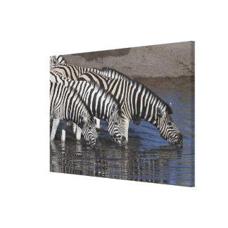 Cebra (quagga del equus) que bebe en un waterhole impresión en lienzo