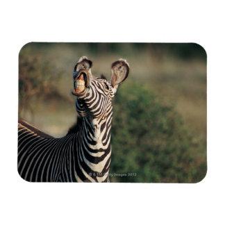Cebra que muestra los dientes (burchelli del Equus Imanes Flexibles