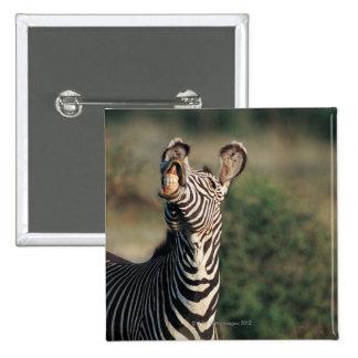 Cebra que muestra los dientes (burchelli del Equus Pin