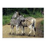 cebra y bebé postal