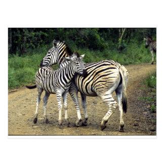 cebra y bebé tarjeta postal