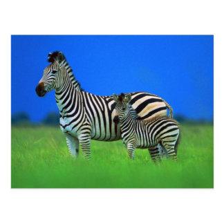 Cebra y potro tarjeta postal