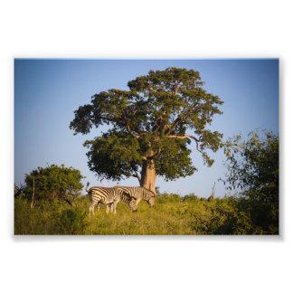 Cebras, Botswana, África, impresión de la foto Fotografías