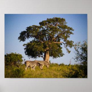 Cebras, Botswana, África, poster