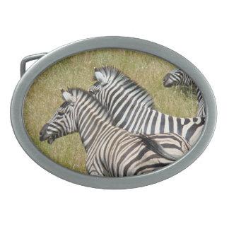 Cebras del africano del safari de los buckels de l hebillas cinturon