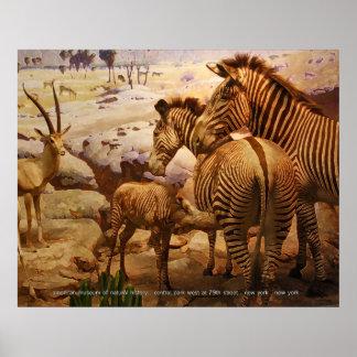 cebras en el museo americano de la historia natura póster