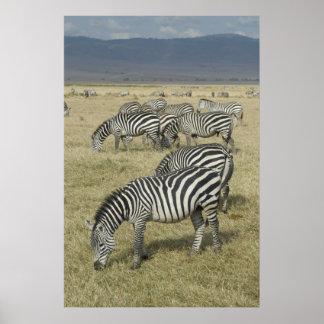 Cebras en el poster de Tanzania
