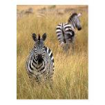 Cebras en hierba alta postales