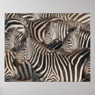 Cebras, Kenia, África Póster
