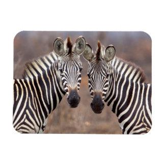 Cebras llanas, parque nacional de Kruger Imán De Vinilo