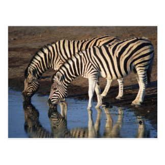 Cebras que beben en el agujero de riego tarjeta postal