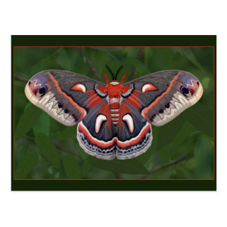 Cecropia Moth Drawing Postcard