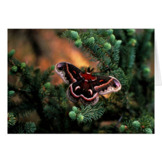 Cecropia moth greeting card