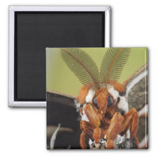 Cecropia Moth, Hyalophora cecropia, adult 2 Inch Square Magnet
