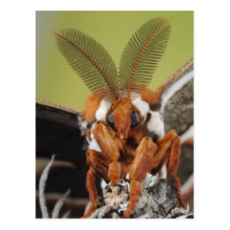 Cecropia Moth, Hyalophora cecropia, adult Postcard