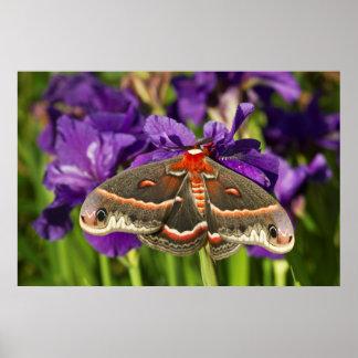 Cecropia Moth in flower garden Poster