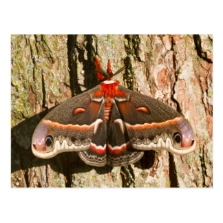 Cecropia Moth on tree trunk Postcard