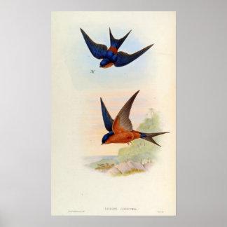 Cecropis Hyperythra (Sri Lanka swallow) Poster
