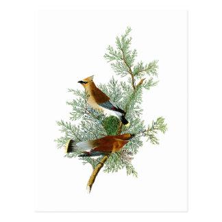Cedar Bird John James Audubon Birds of America Postcard