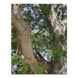 Cedar Tree Trunks and Limbs Poster