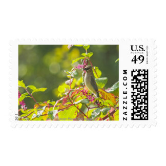 Cedar Waxwing  And Poke Berries On A Tree Postage