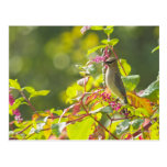 Cedar Waxwing  And Poke Berries On A Tree Post Cards