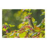 Cedar Waxwing  And Poke Berries On A Tree Poster