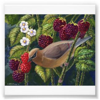 Cedar Waxwing in Raspberries photo print