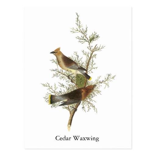 Cedar Waxwing, John Audubon Post Card