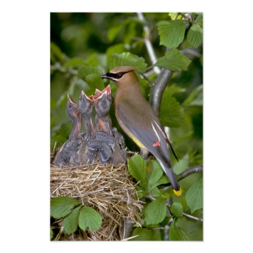 Cedar Waxwing with nestlings Poster